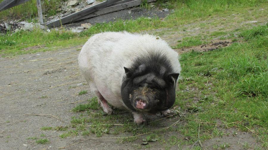 Hängebauchschwein Odie