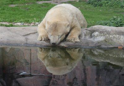 Eisbär; Bildquelle:_Christine Schulte_pixelio.de