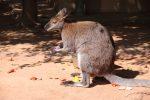 Kanguruh