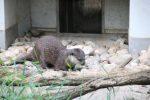 Zwerg-Otter