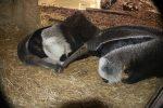 Ameisenbär-Kuss