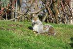 London-Grauhörnchen