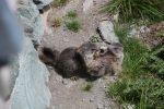 Alpen-Murmeltier-Jungtiere