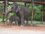 Arbeits-Elefanten in Thailand