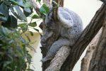 Koala Tiergarten Schönbrunn
