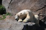 Eisbär Tiergarten Schönbrunn