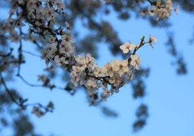 Kirschblüte-2