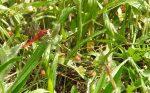 Libelle-Feuerlibelle