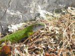 Smaragdeidechse