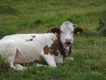 Torscharte-Kuh