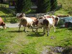 Neue Rangordnung unter den Kühen auf der Wansingalm