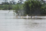 Irrawaddy Delfine in Kratie