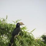 Hornrabe im Cat Thien Nationalpark