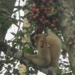 Gibbon im Cat Thien nationalpark