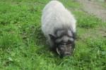 Odie, das liebe Hängenauchschwein