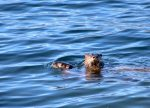 See-Otter