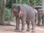 Arbeitselefant in Laos (2)