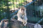 Berberaffe Tiergarten Schönbrunn