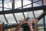 Giraffen Tiergarten Schönbrunn