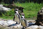 Humboldt-Pinguine Tiergarten Schönbrunn