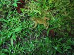 Frosch- Costa Rica
