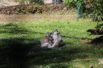 Kattas- Zoo Linz