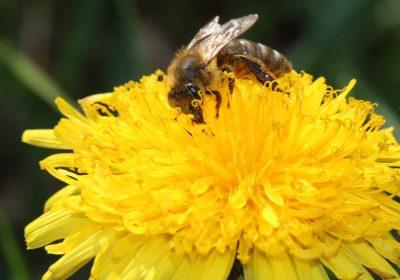 Weingarten-Biene