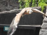 GreifGreifvogelstation bei Rennes