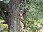 Baumpilz auf Lärche